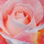 "Nr.209 ""Rosenblüte mit Tautropfen"", Ölgemälde"