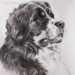 "Nr.217 ""Berner Sennenhund"", 30 x 40 cm, Kohlestift auf Malpapier, 2016"